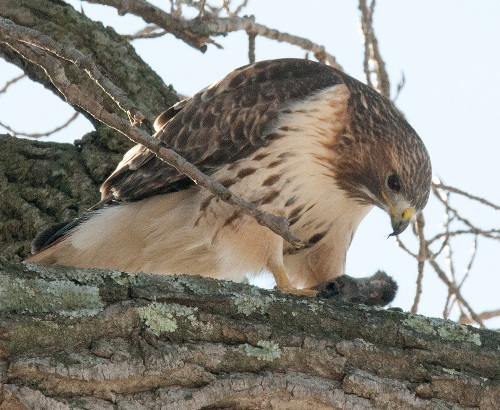 Red Tail 4